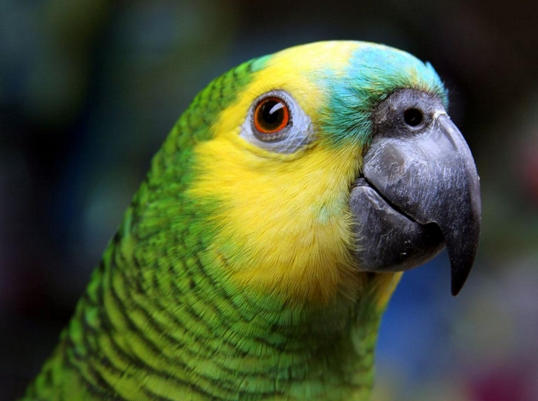 Экзотика дома: волнистый попугай