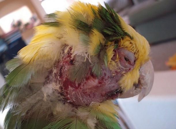 У волнистого попугая выпадают перья что делать