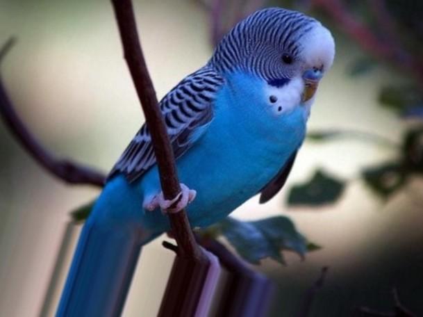 Почему дерутся волнистые попугаи 387