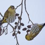 Такие разные чижи: виды птиц