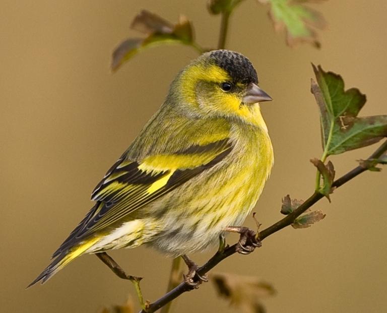 Чиж – чудесная птица
