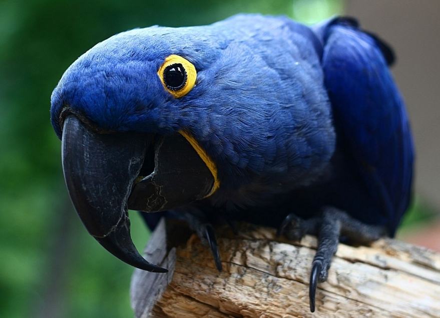 Шикарный попугай гиацинтовый ара
