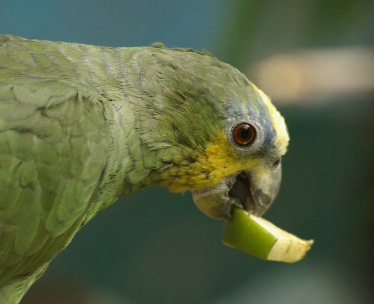 Содержание попугая амазон в домашних условиях