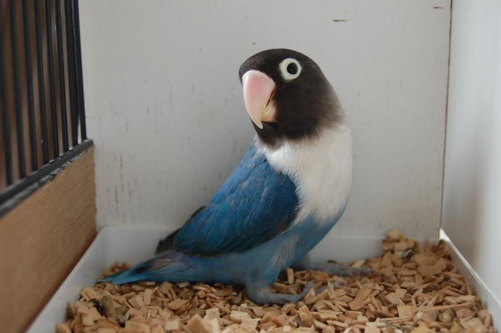 неразлучник голубой