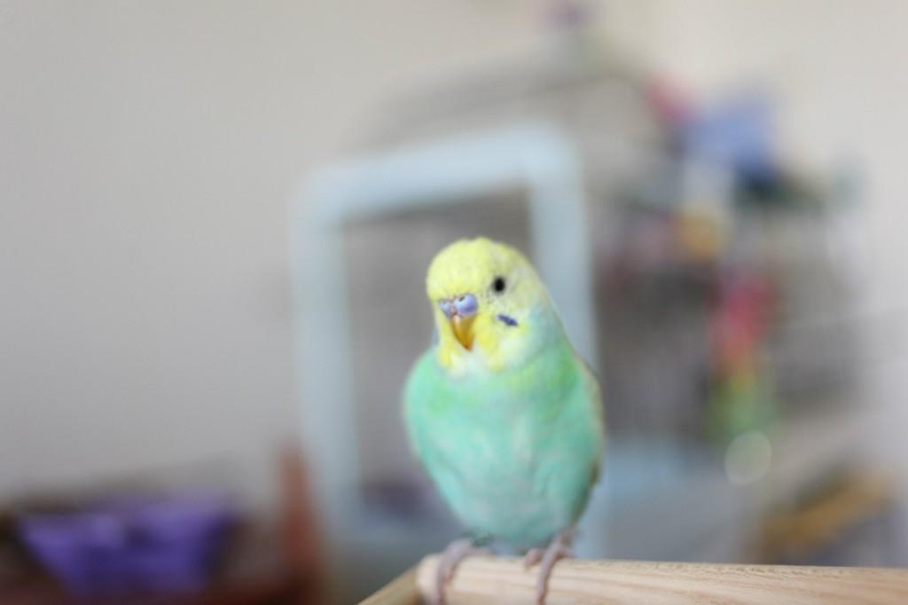 Кокцидиоз у попугая