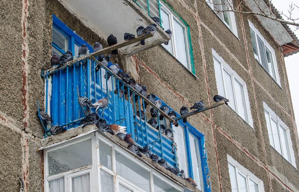 Содержание голубей в квартире