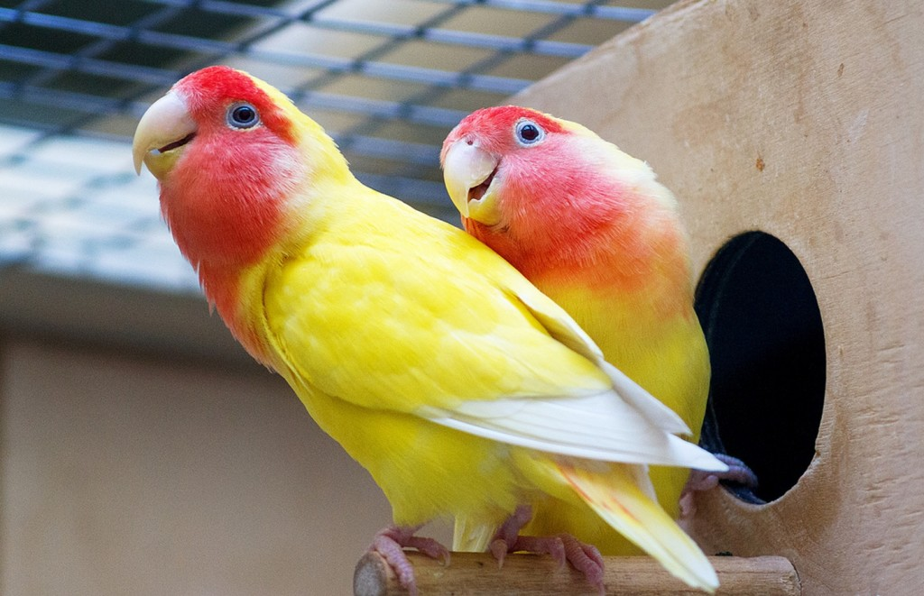 попугай неразлучник пара