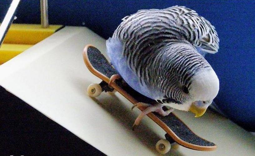 попугай на скейте