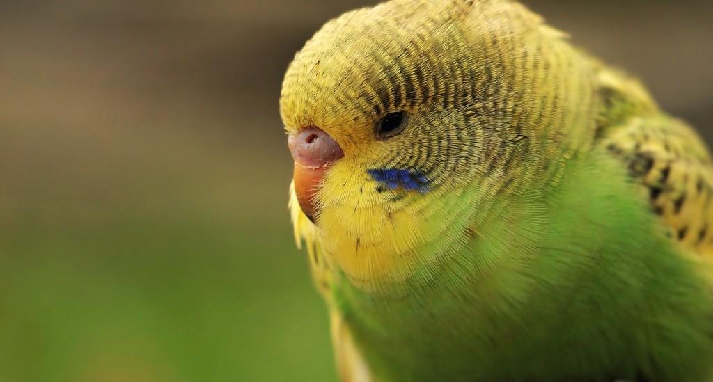 Лечение липомы у волнистого попугая