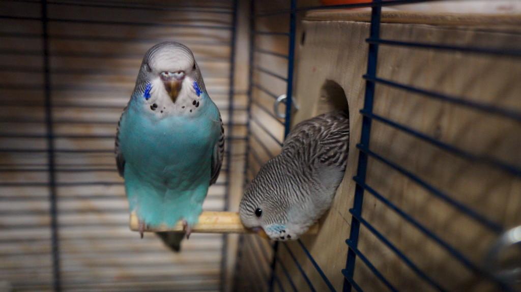 Сальмонеллез у домашнего попугая