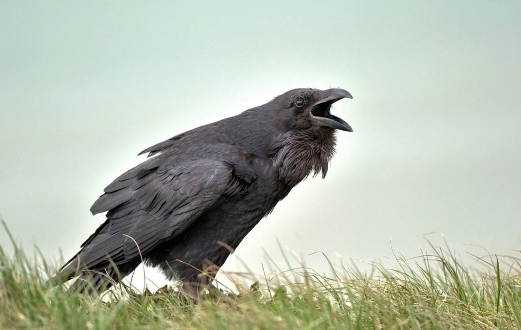 Вороны в домашних условиях