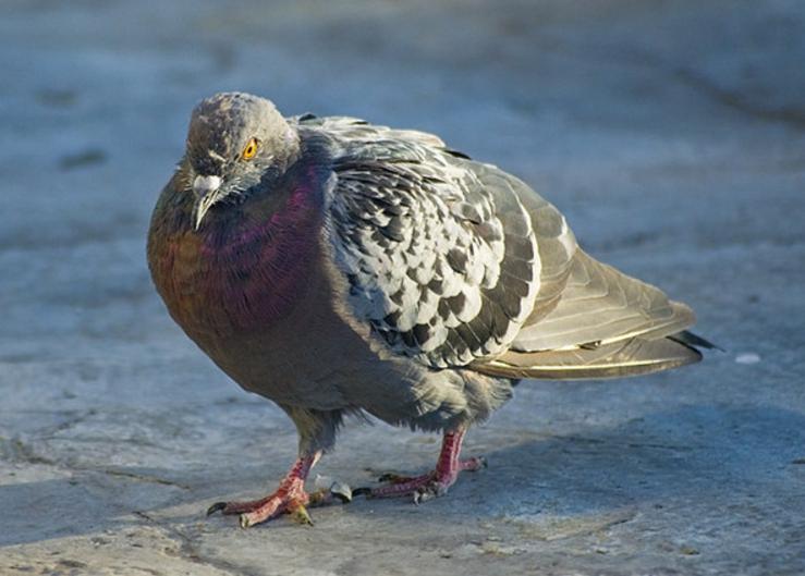 орнитоз +у волнистого попугая