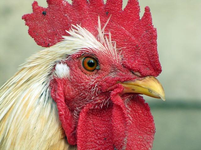 Курица описание