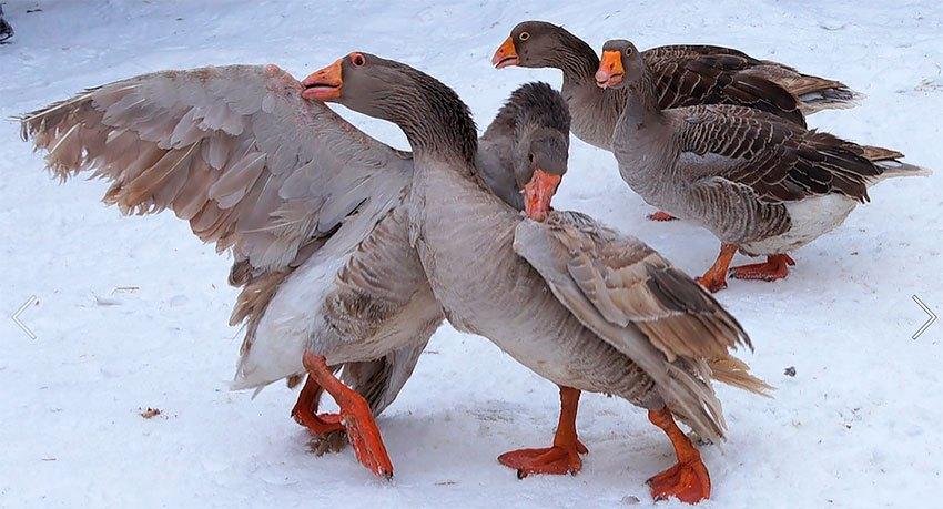 Тульские гуси