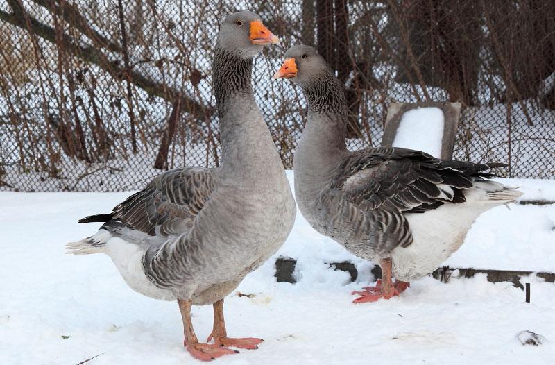 Самые крупные домашние гуси