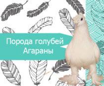 poroda-golubej-agarany