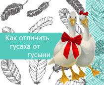Как отличить гусака от гусыни