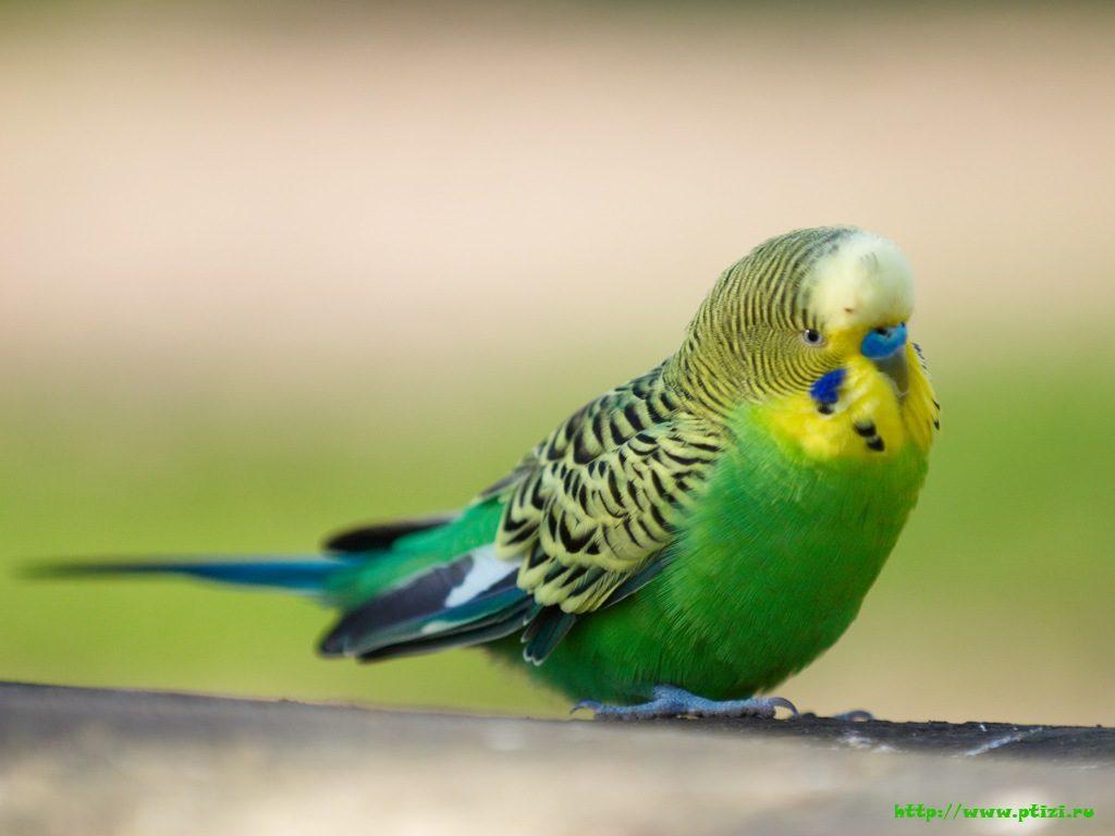 Что делать с попугаем вовремя отпуска