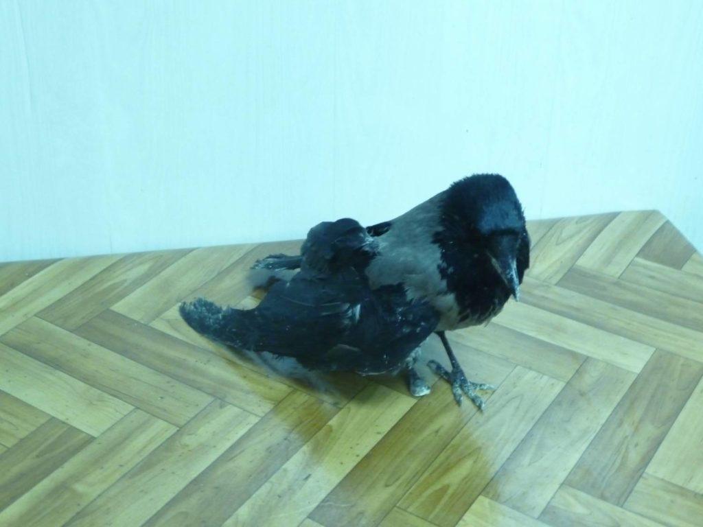 Ворона со сломанным крылом