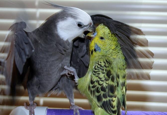 попугаи дерутся что делать