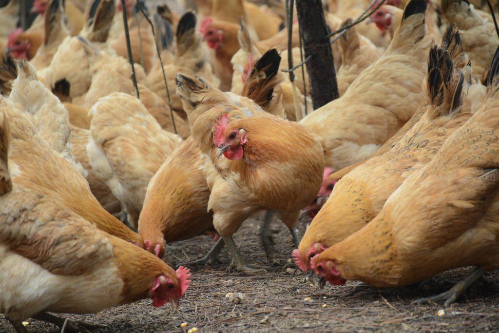Куриные мини фермы
