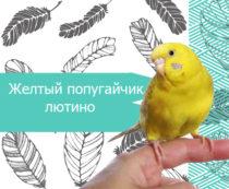 Желтый попугайчик лютино
