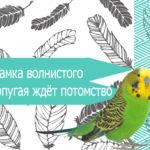 Как установить, что самка волнистого попугая ждёт потомство