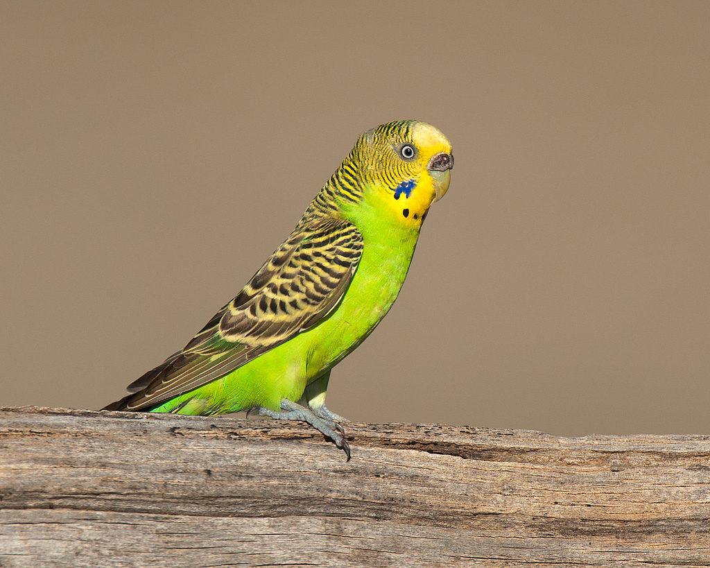 Причины простуды у попугая