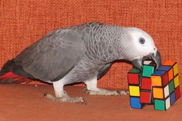 По каким принципам складывается цена на попугая