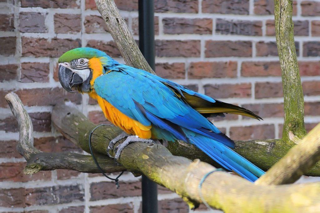 Попугай ара: цена