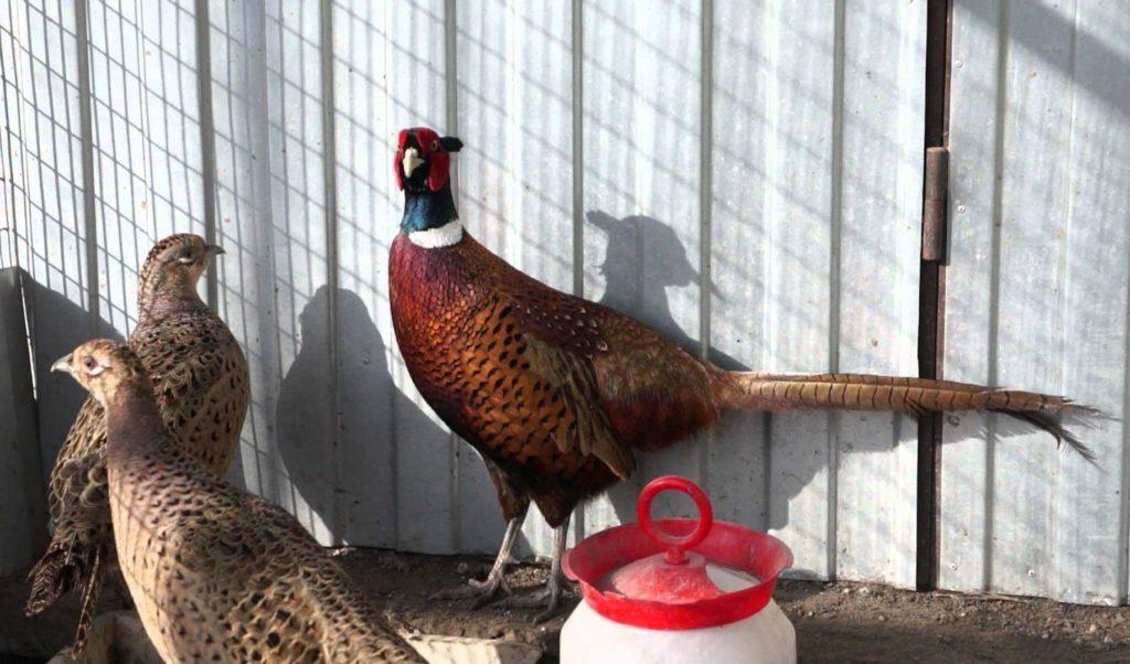 чем кормить фазанов