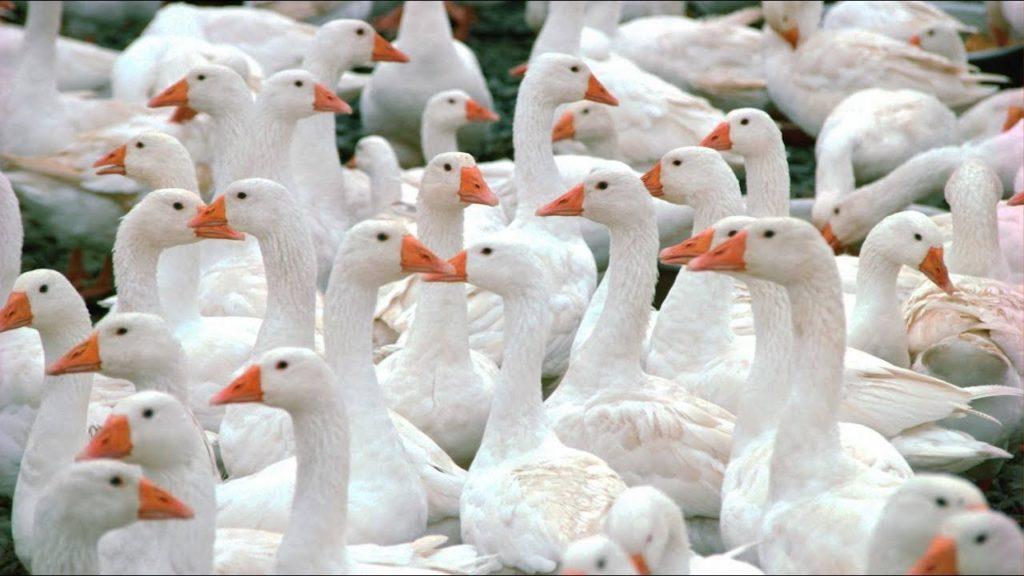 Колибактериоз у гусей