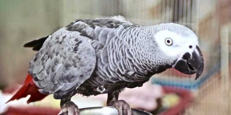 попугай кряхтит