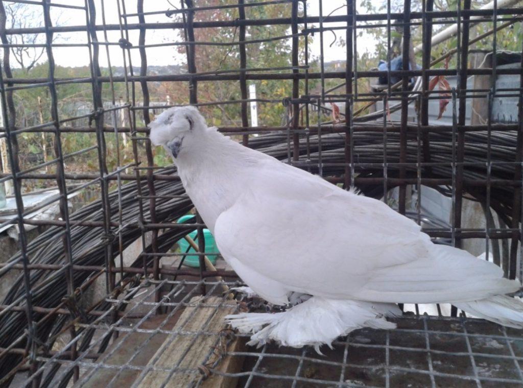 как кормить высоколетных голубей