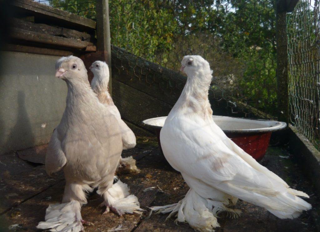 разведение летных голубей