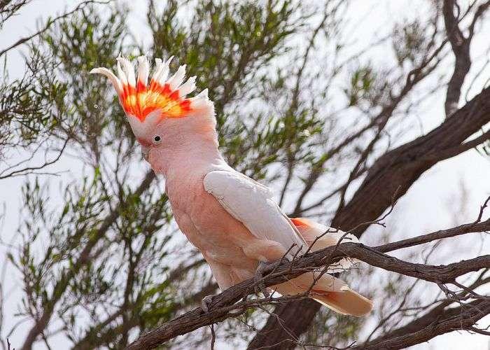попугай какаду инка