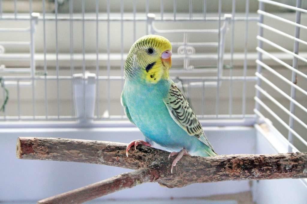 лучшие корма для волнистых попугаев