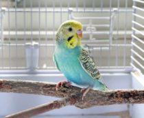 понос у волнистого попугая