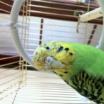 Гиподинамия у попугая – что это за болезнь?