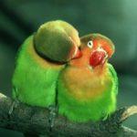 Тихие попугаи для домашнего содержания