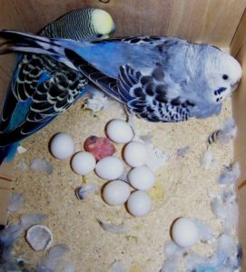 Вылупление яиц волнистого попугая