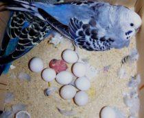 Обустройство гнезда для волнистых попугаев