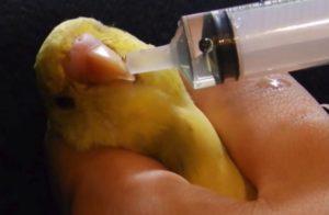Лечение кашля у попугаев