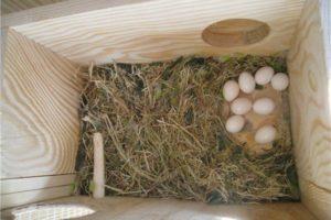 Кладка яиц в гнезде