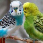 Как научить волнистого попугая говорить?