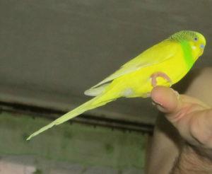 Поджатая лапка у попугая