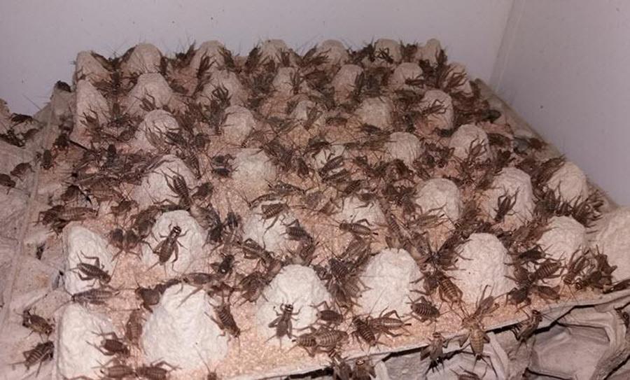 Разведение кормовых насекомых для певчих
