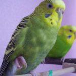 Попугай поджимает лапку: в чем дело?