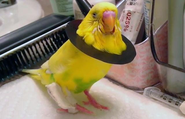 Травма лапки у попугая