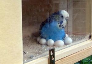 Самка попугая высиживает яйца